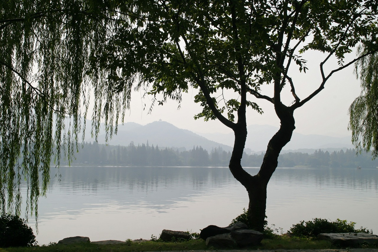 china tree weeping willow free photo