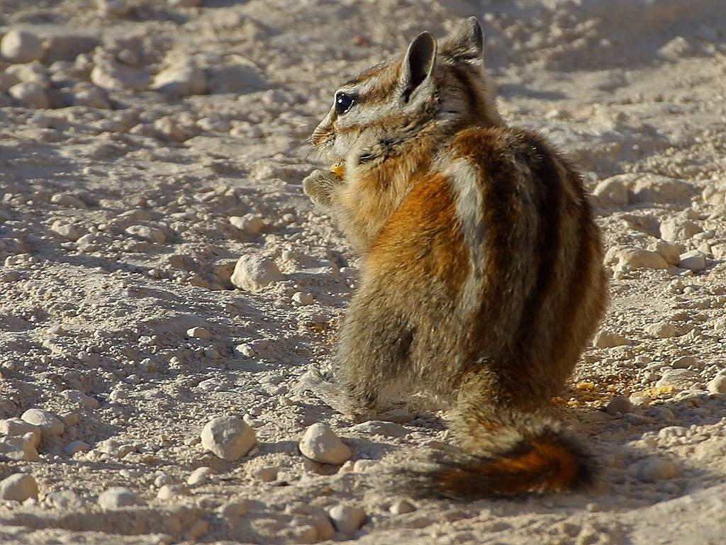 chipmunk squirrel nager free picture