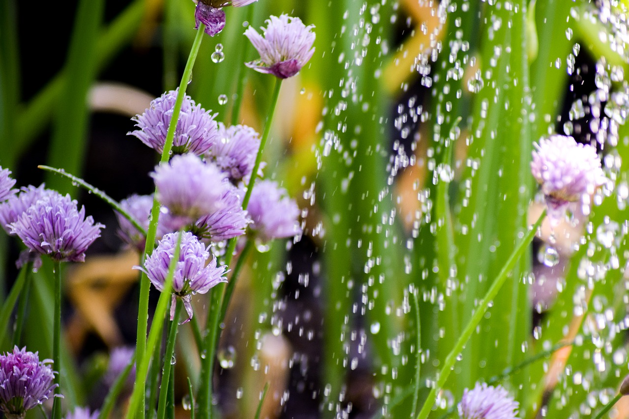 chives plant herbs free photo