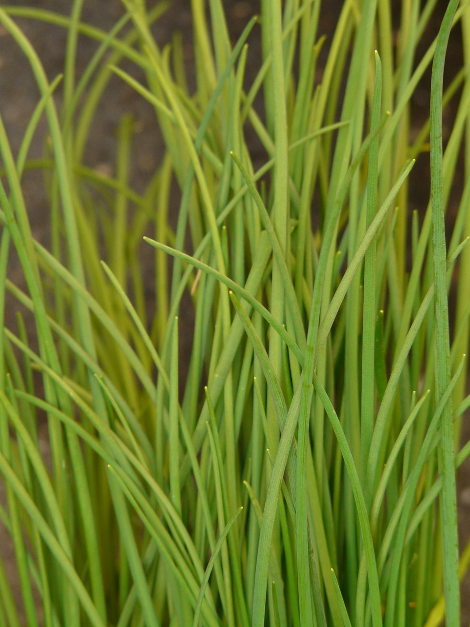 chives leek kitchen spice free photo