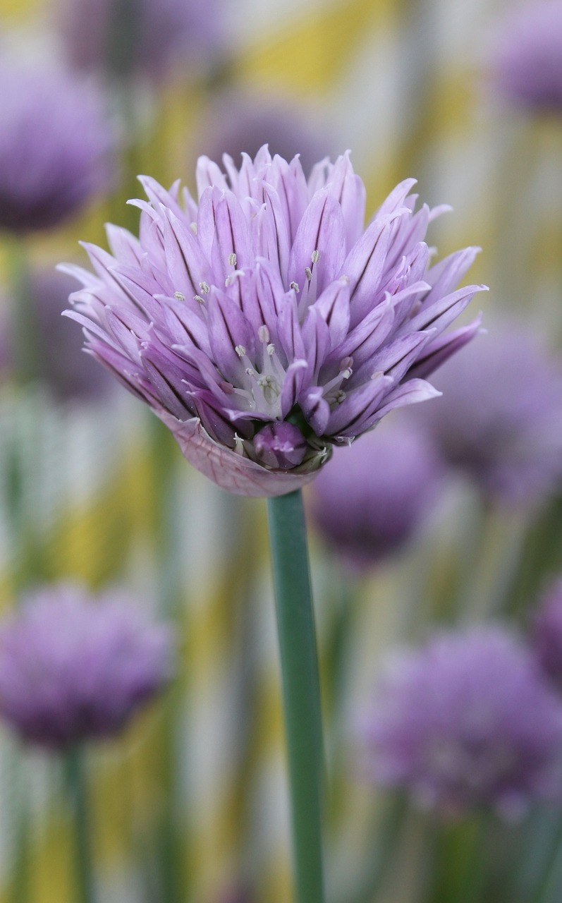 chives spring purple free photo