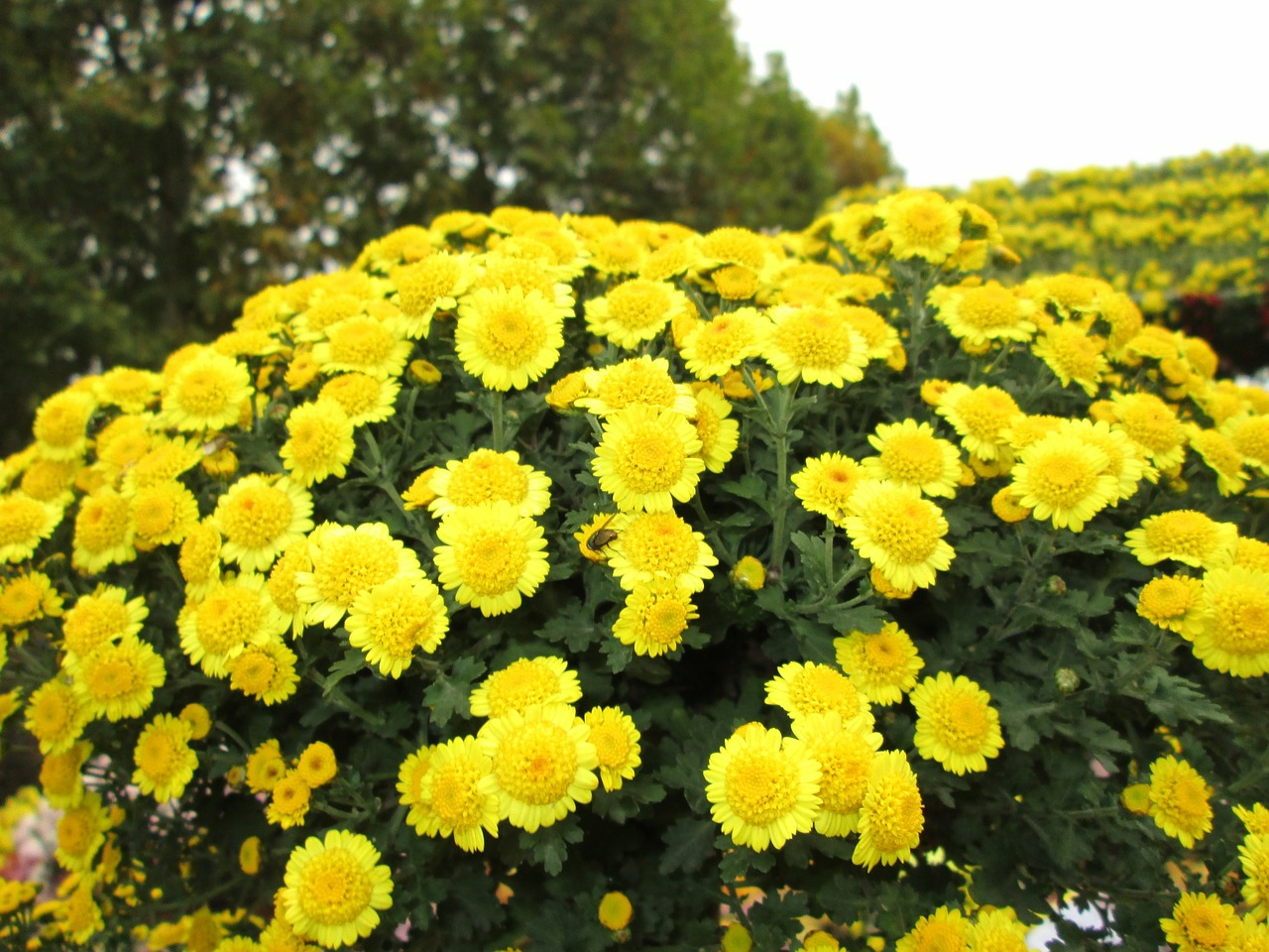 chrysanthemum,plant,park,yellow,free pictures, free photos, free images, royalty free, free illustrations, public domain