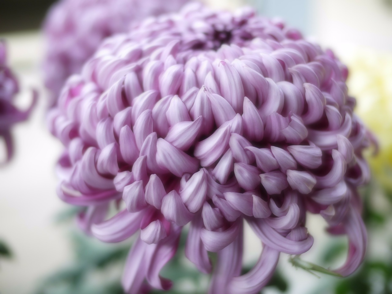 chrysanthemum purple flowers free photo