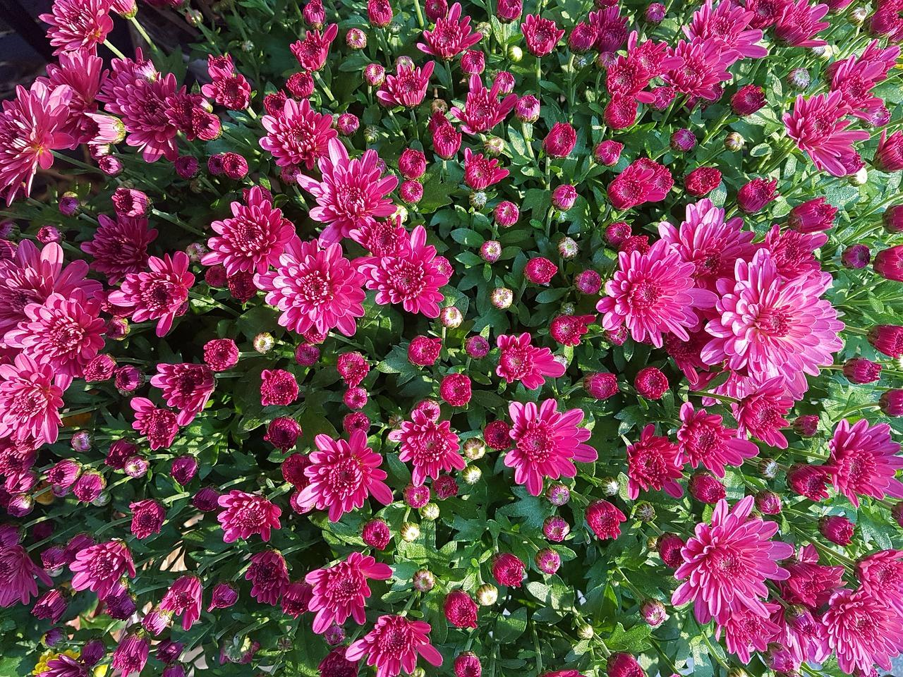 Chrysanthemum flowerautumnkogikufall flowersflower wallpaper chrysanthemum flower autumn kogiku izmirmasajfo