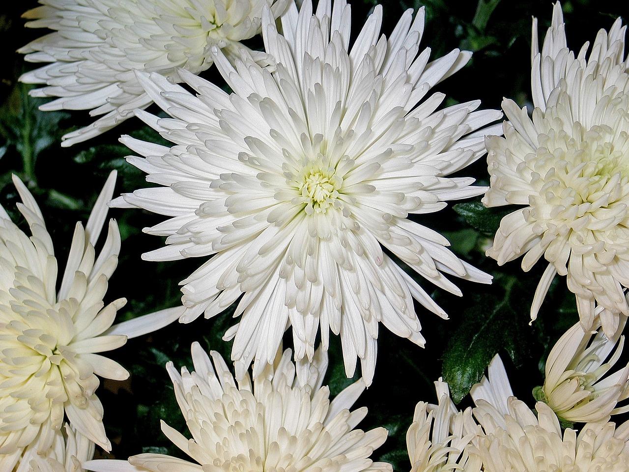Chrysanthemumsastersflowerimpressionwhite free photo from chrysanthemumsastersflowerimpressionwhitepurityrestbouquet mightylinksfo