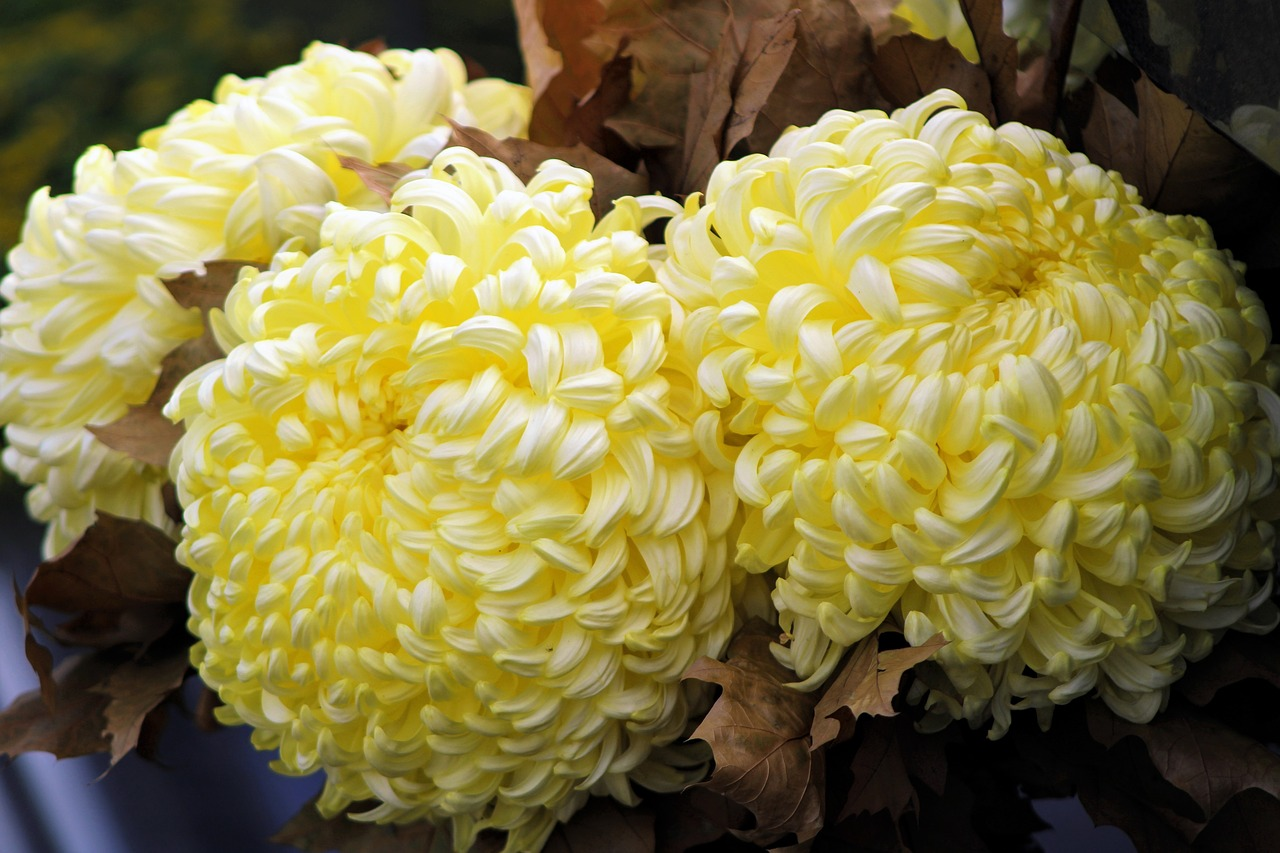 chrysanthemums  chrysanthemum  bloom free photo