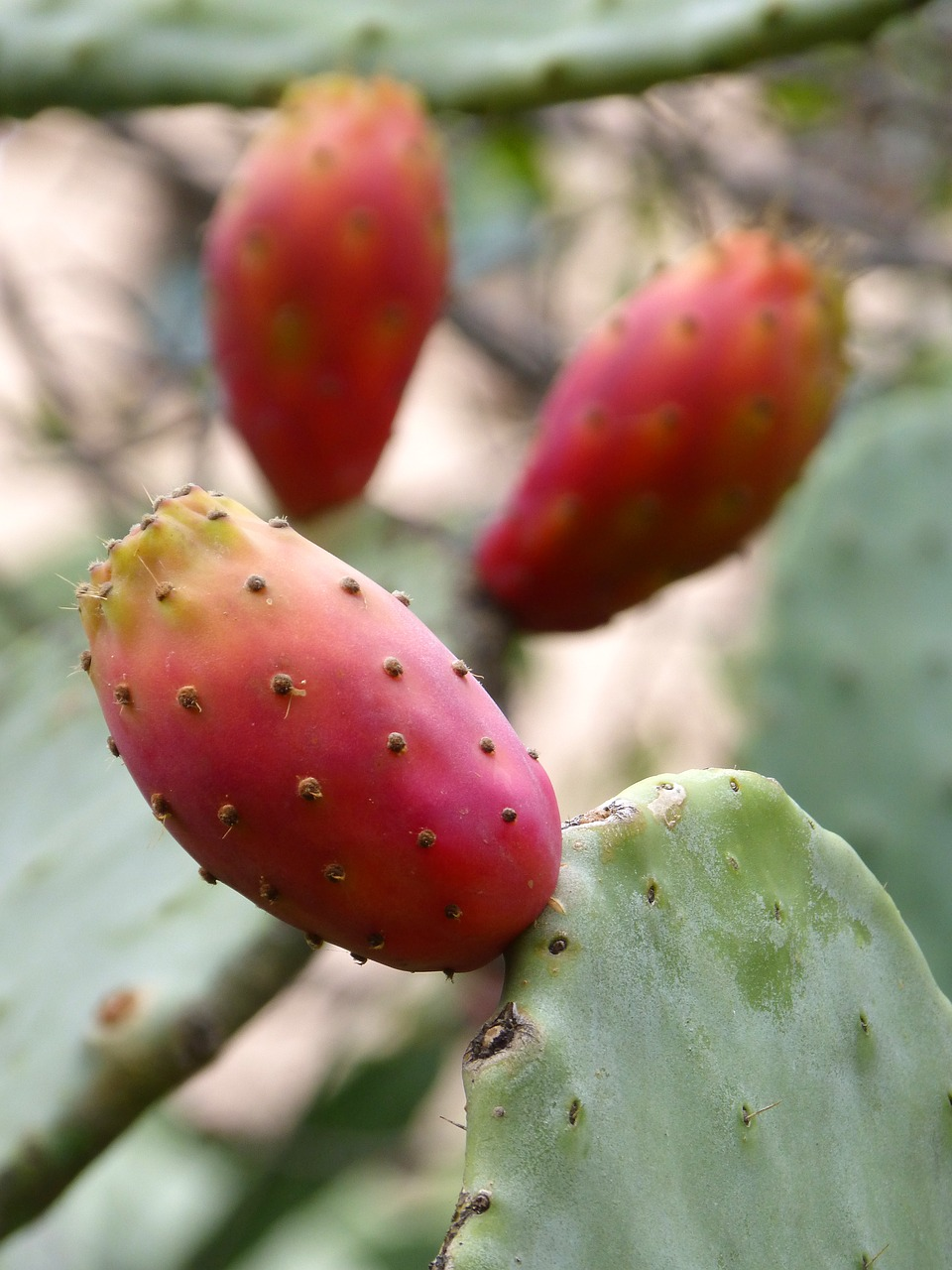 chumbo prickly pear prickly pear cactus free photo