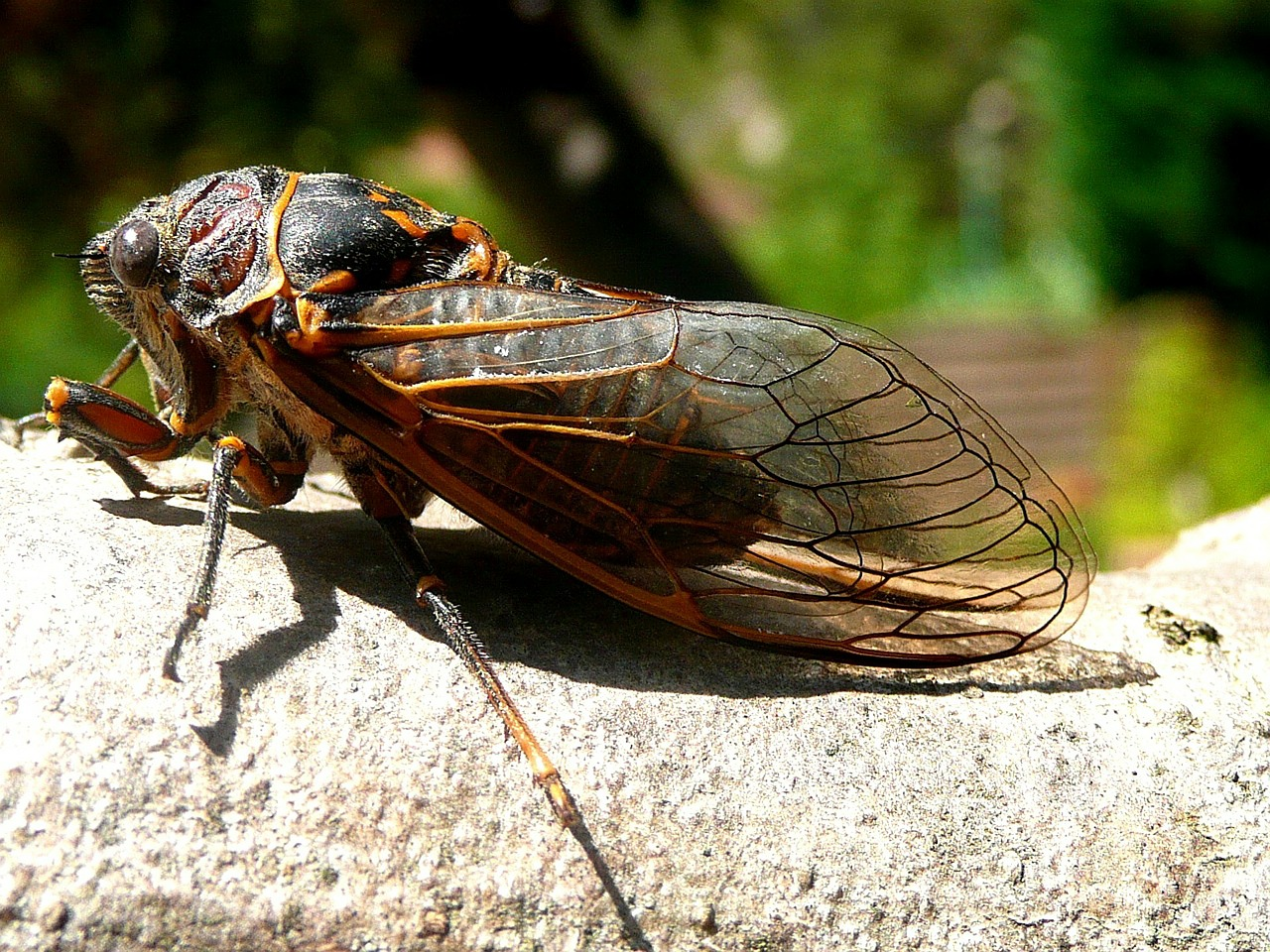 cicada insects nature free photo