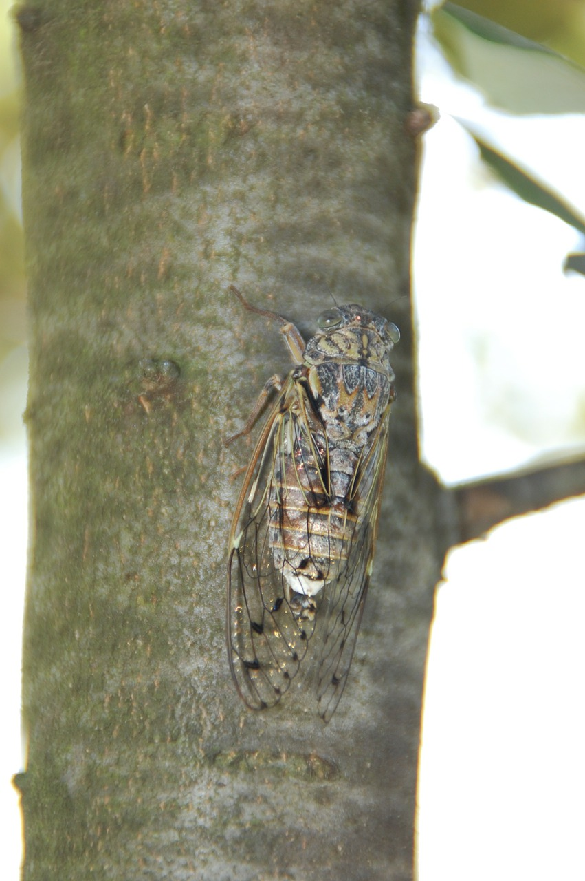 cicada south insect free photo