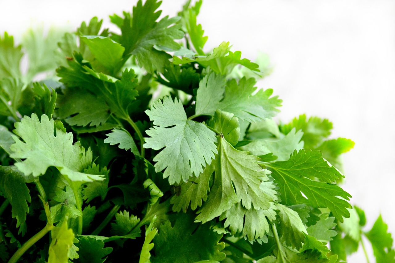Cilantro,herbs,food,green,cuisine - free image from needpix.com