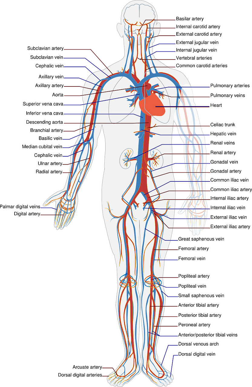 circulatory system labels free photo