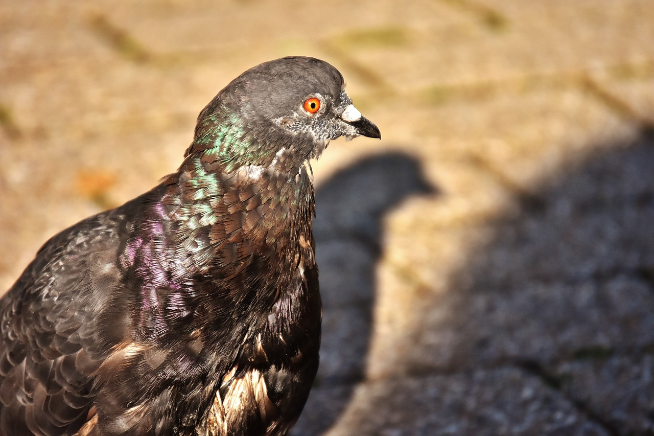 city pigeon foraging dove free picture