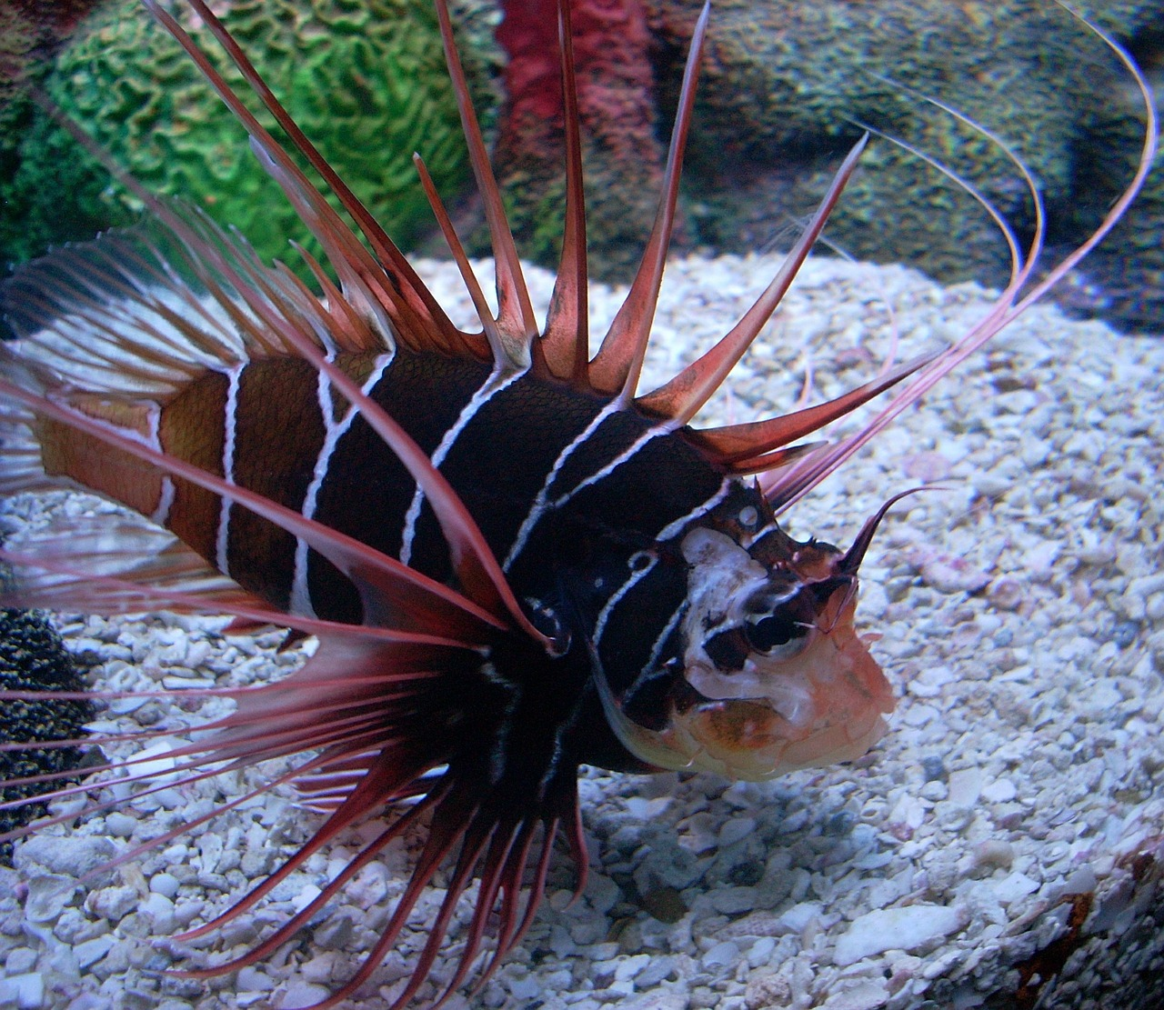 clearfin lionfish fish venomous spines free photo