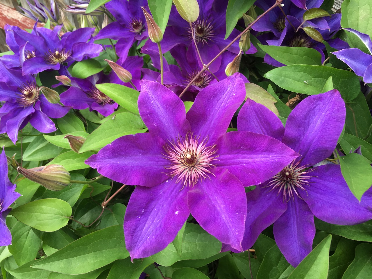 Clematisplantflowerflorasummer Free Photo From Needpix
