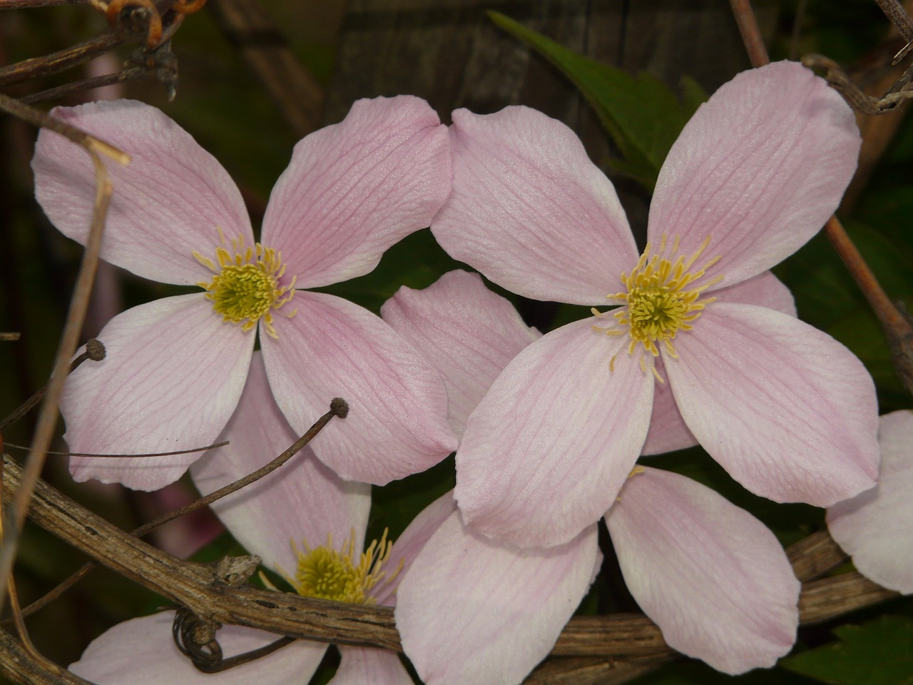 clematis plant flower free photo