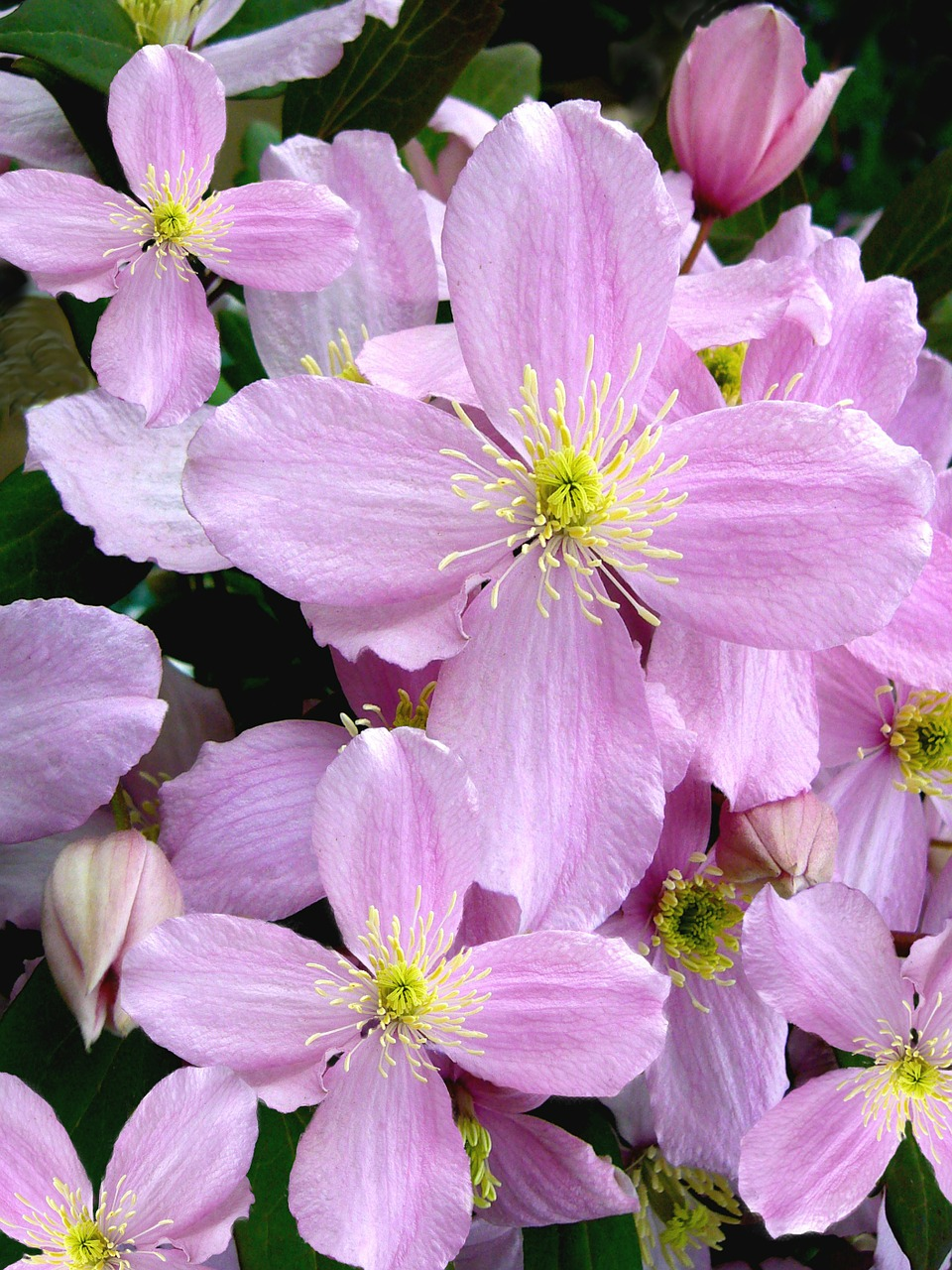 clematis montana flowers pink free photo
