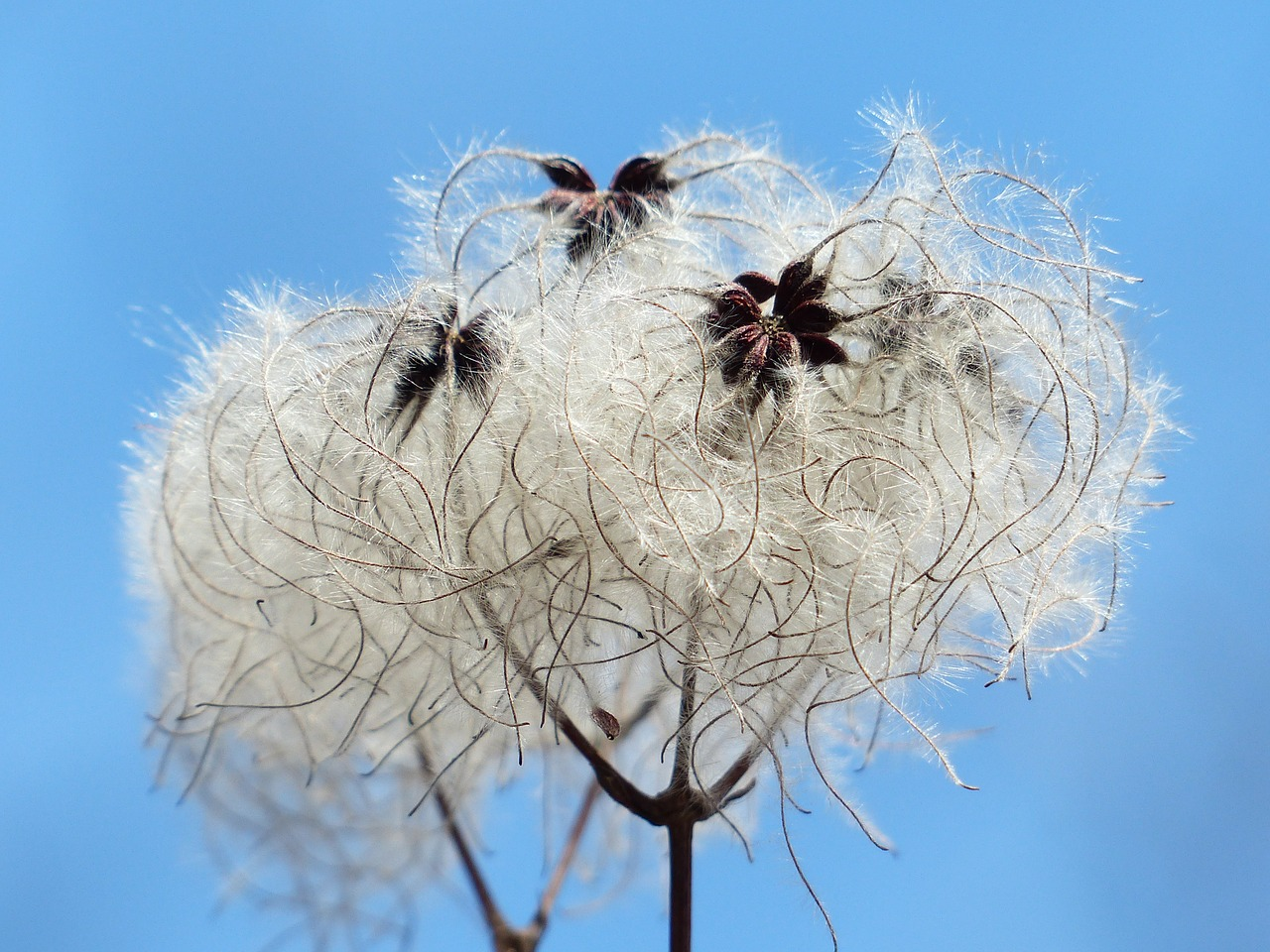 clematis vitalba pods soft free photo
