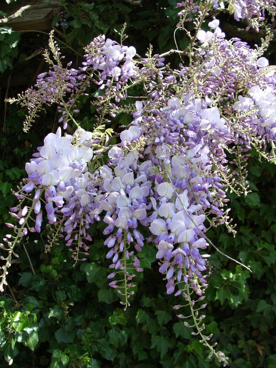 Climbing Vine Flowers Purple Flowers Summer Bloow Strong Sunlight