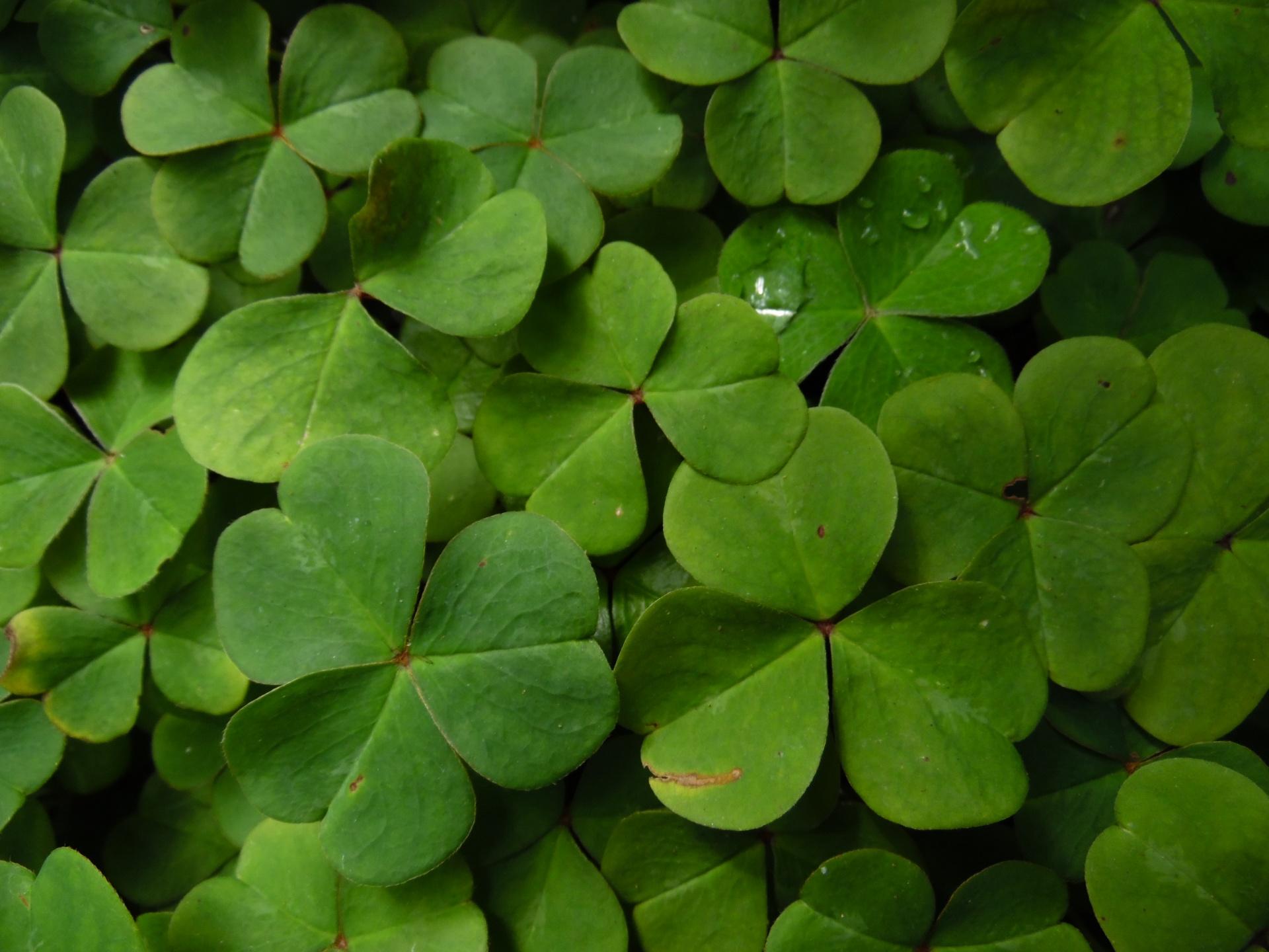 Clovers,plants,garden,dew,dew drop - free photo from needpix com