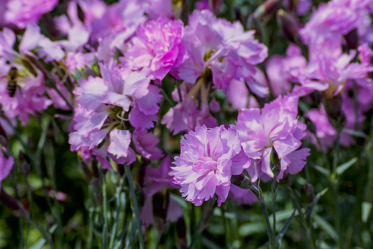 Cloves, garden, dianthus, pink, spring - free image from needpix.com