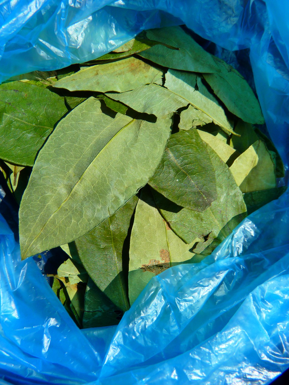 coca leaves coca plant free photo