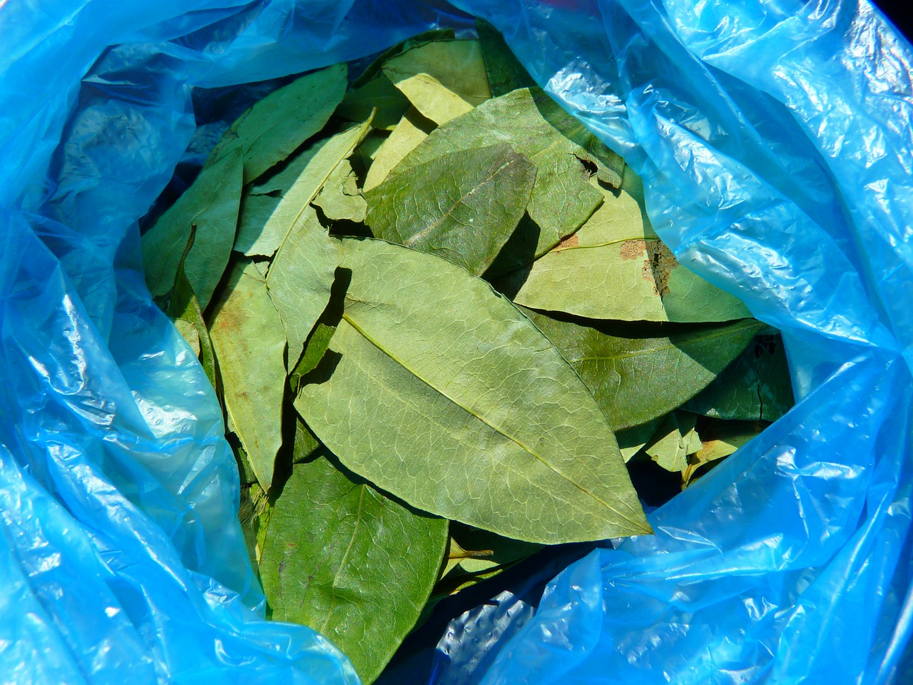 coca leaves coca erythroxylum coca free photo