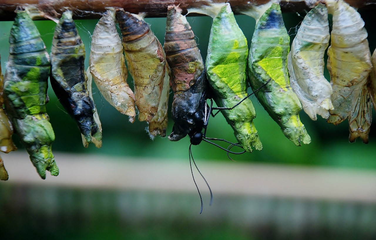 cocoon butterfly chrysalis bug free photo