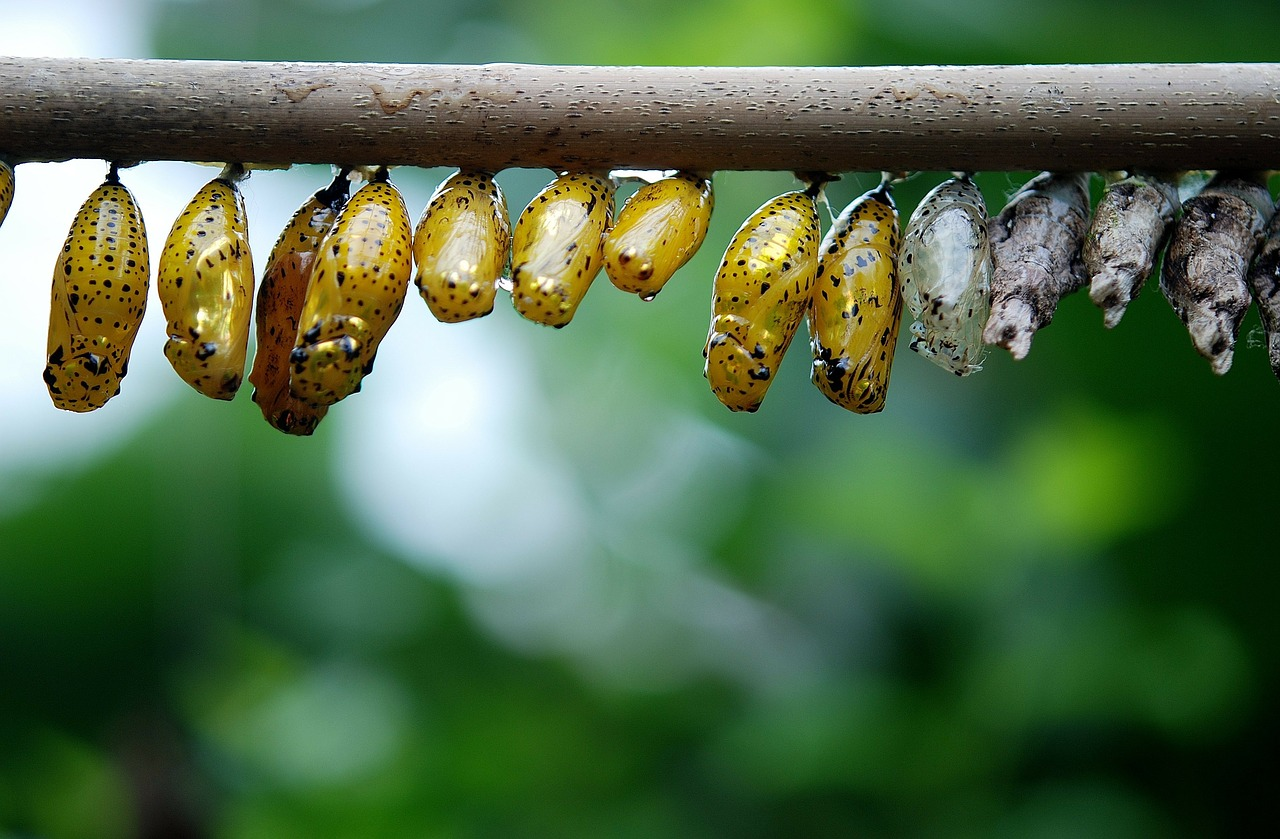 cocoon butterfly larva larvae free photo