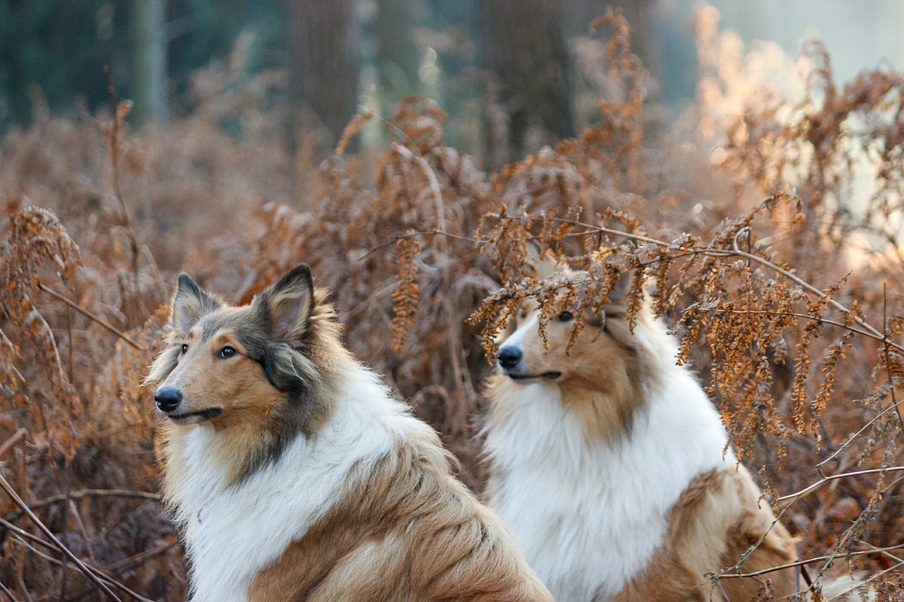 collie dogs pair free picture