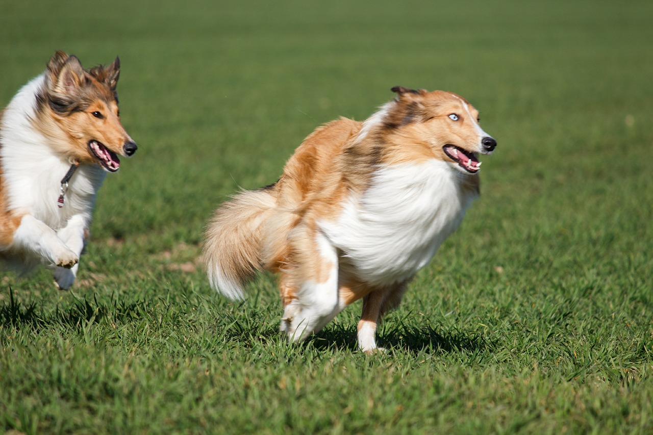 collies dogs race free picture