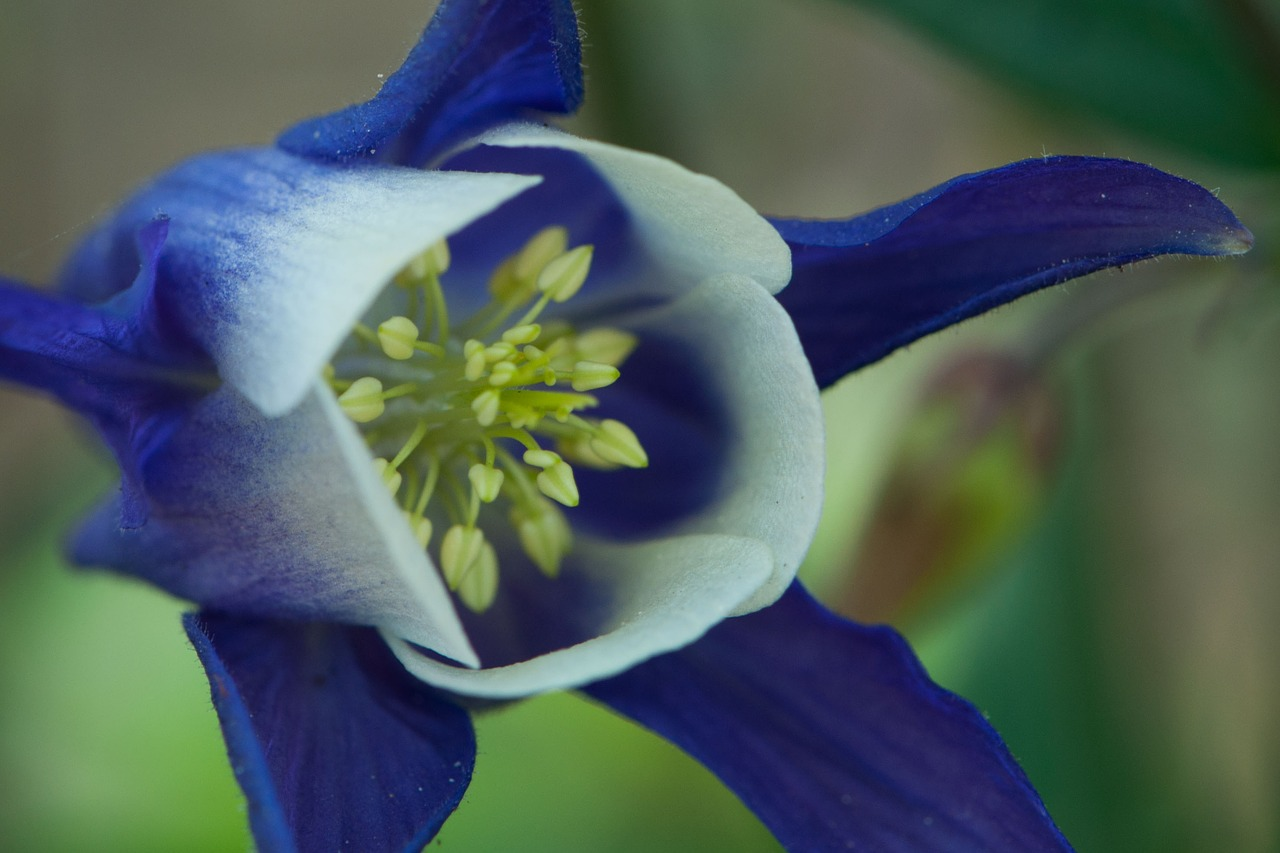 Columbineblueflowerspringfree photos free photo from needpix columbine blue flower izmirmasajfo