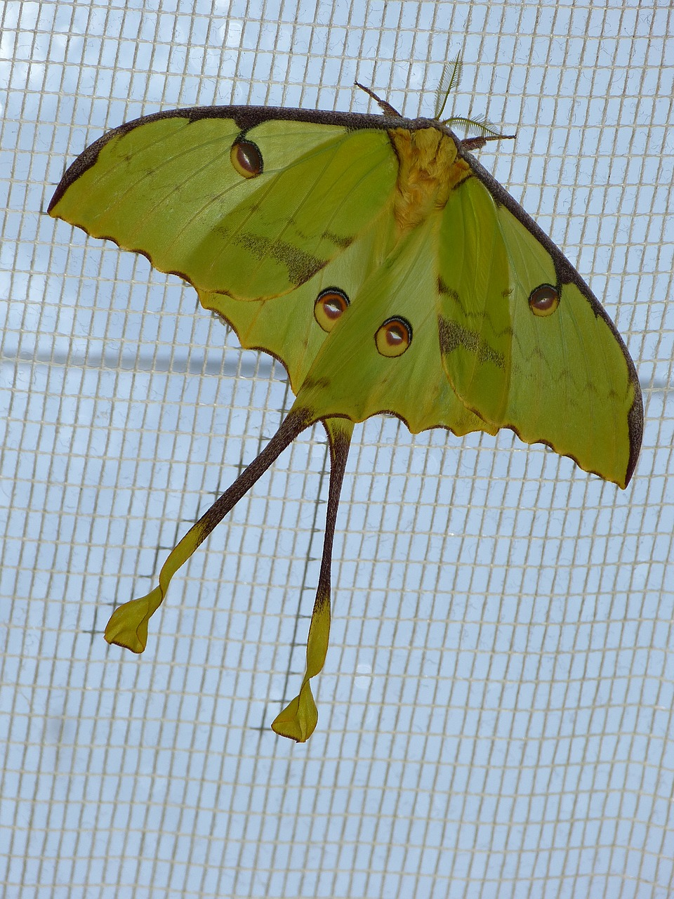 comet moth butterfly large free photo