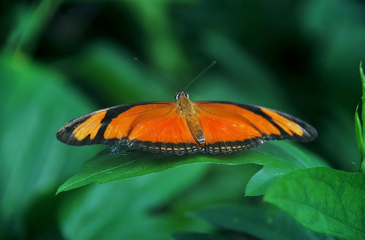 common orange butterfly free photo