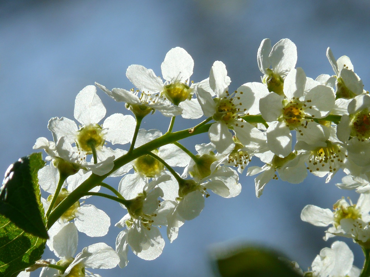 common bird cherry flowers prunus padus free photo
