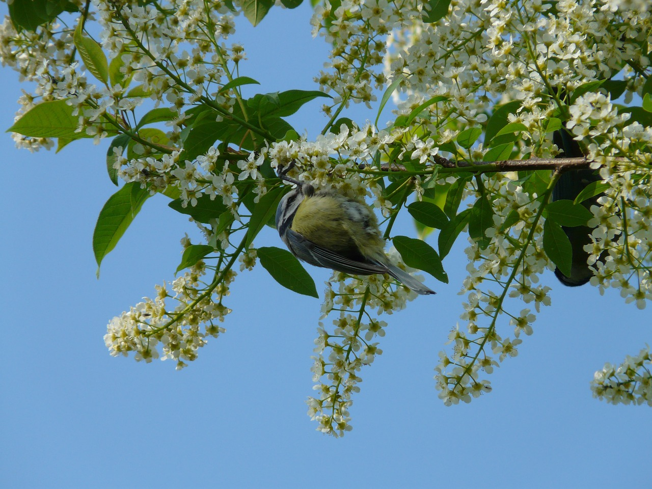 common bird cherry black cherry tree free photo