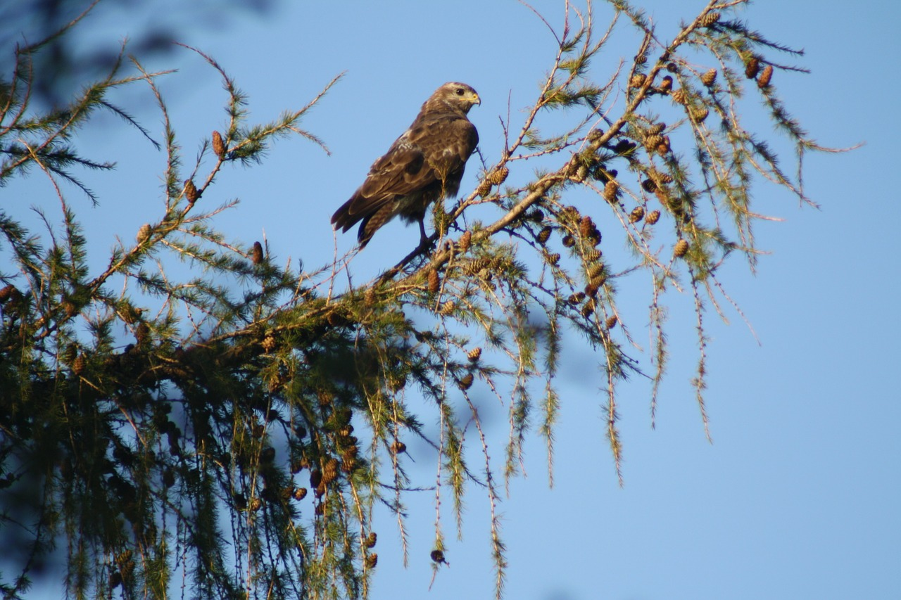 common buzzard bird spruce free photo