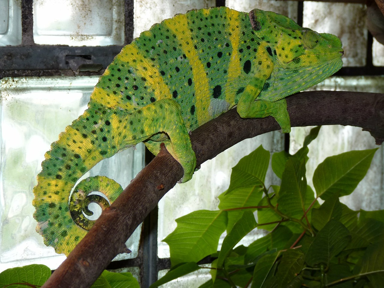 common chameleon european chameleon chamaeleo chamaeleon free photo