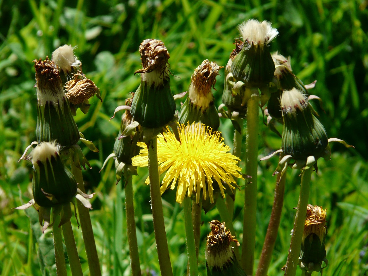 common dandelion pointed flower inflorescence free photo