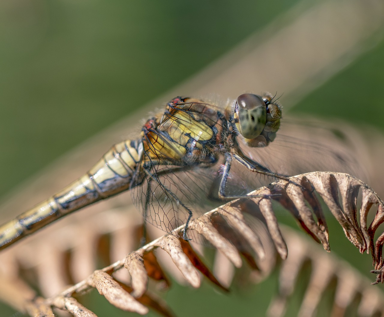common darter  dragonfly  insect free photo