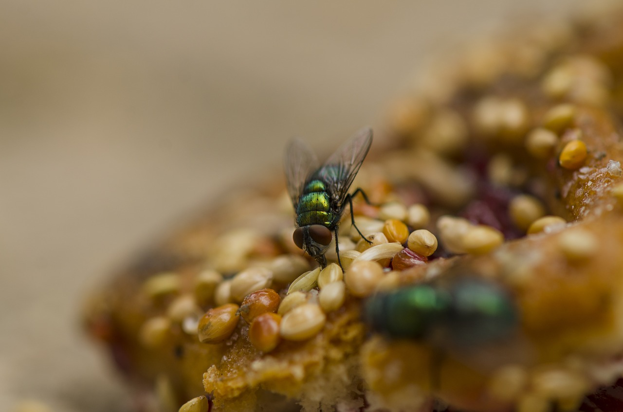 common green bottle fly flies fly free picture