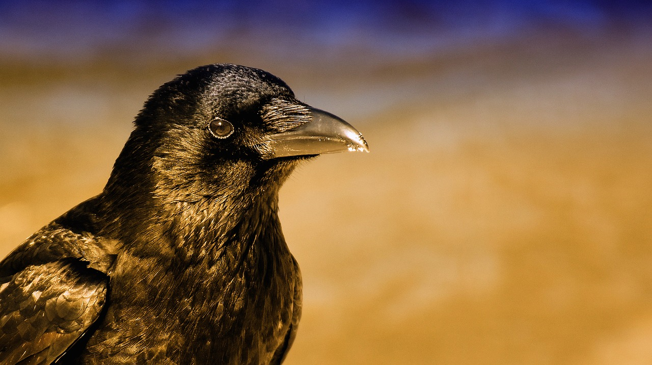 common raven  raven  raven bird free photo
