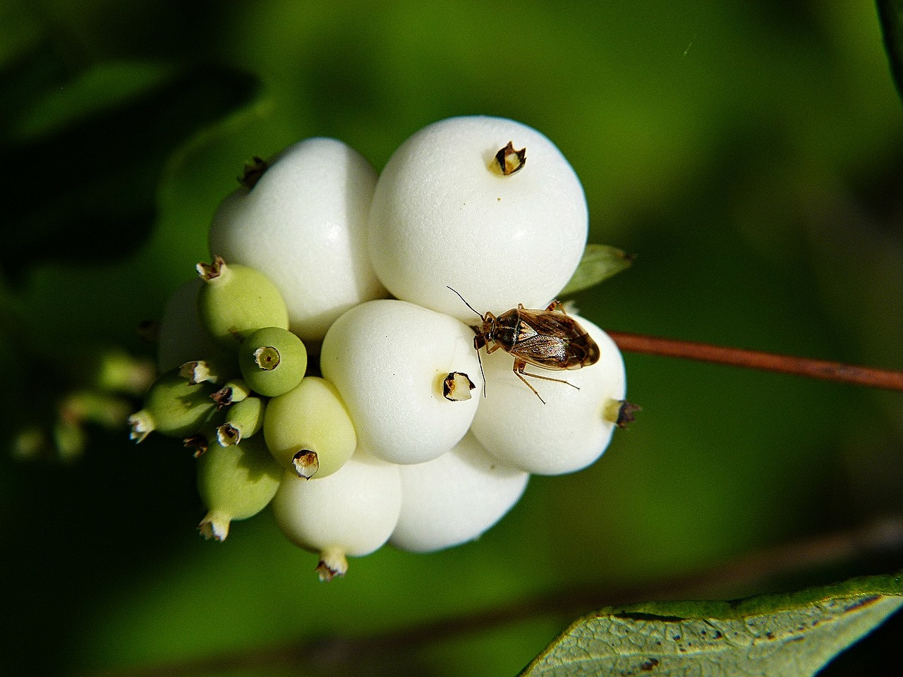 common snowberry symphoricarpas albus toy torpedo free photo