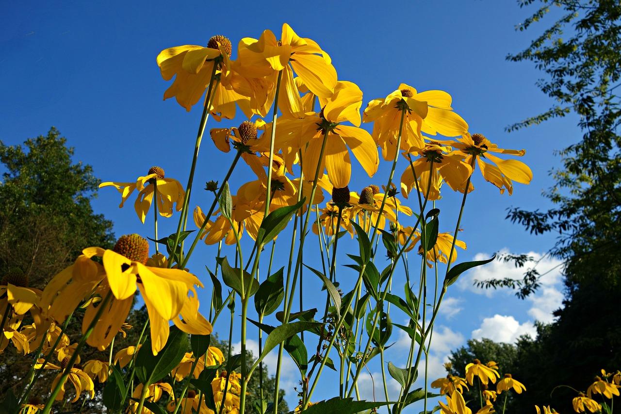 Cone Floweryellow Cone Flowerflowerplantechinacea Paradoxa