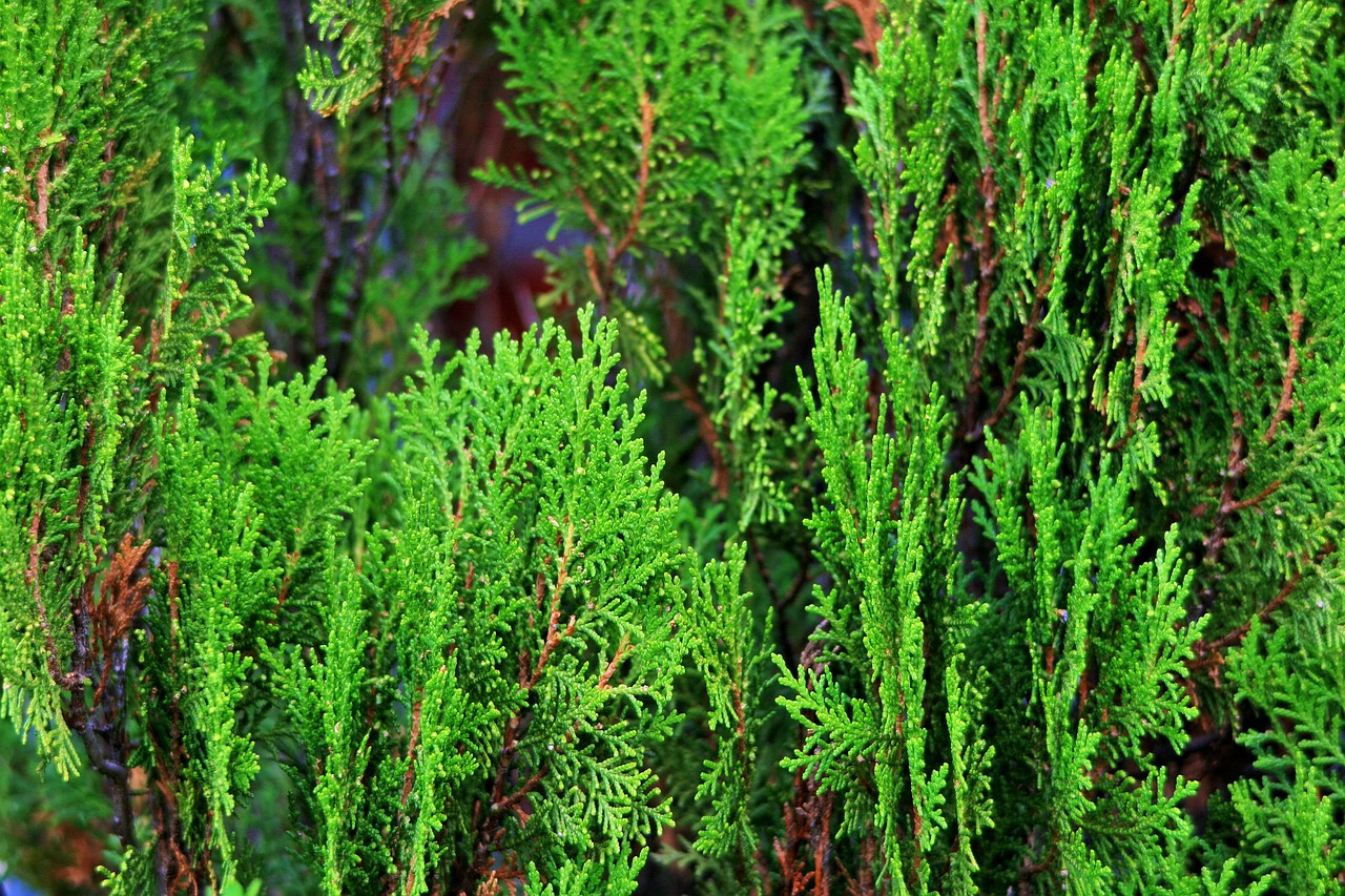 conifer tree green aromatic free photo