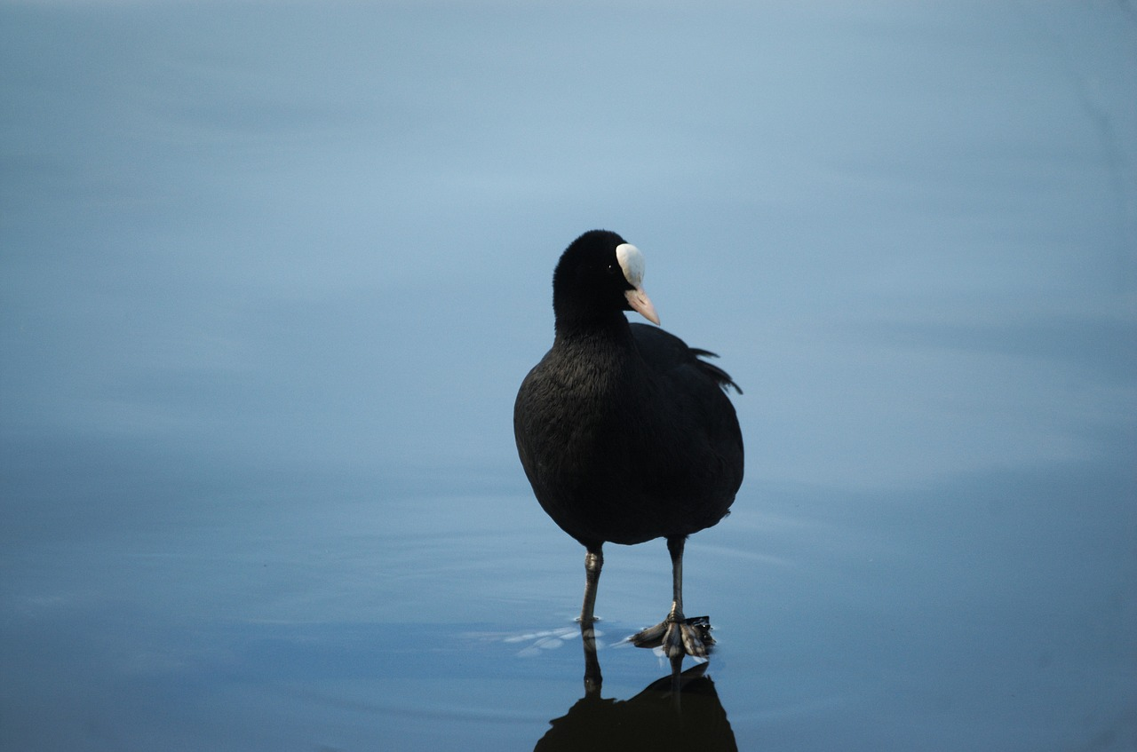 coot fulica atra ralle free photo