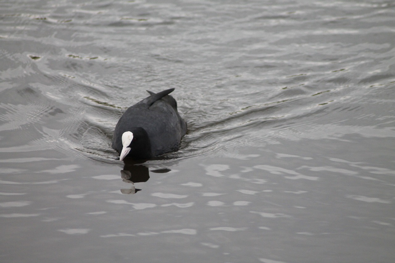 coot,fulica atra,water bird,coots,lake,free pictures, free photos, free images, royalty free, free illustrations, public domain