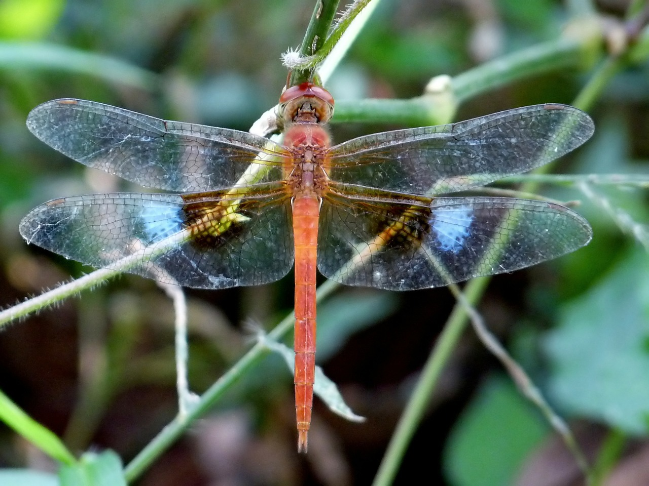 coral-tailed cloudwing dragonfly insect free photo