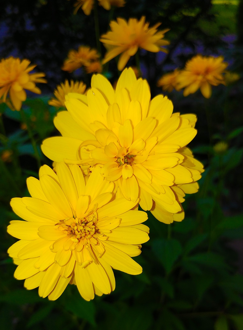 Coreopsisfloweryellowplantasteraceae Free Photo From Needpix