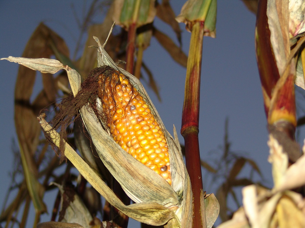corn,autumn,harvest,free pictures, free photos, free images, royalty free, free illustrations, public domain