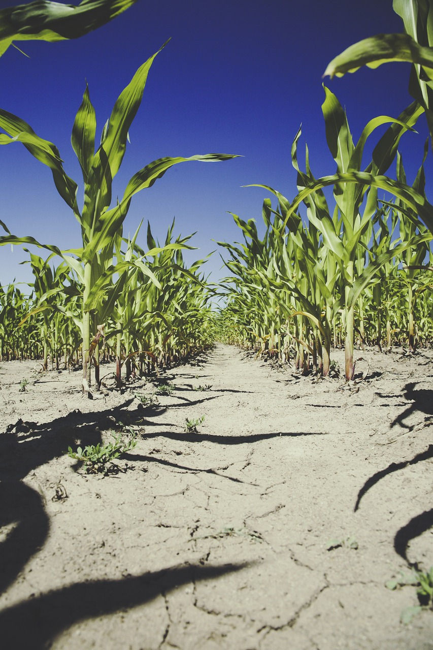 corn field agriculture free photo